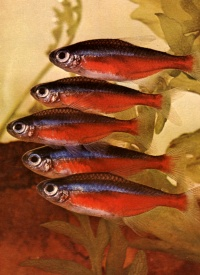 Cardinal Tetra(Cheirodon axelrodi) Peaceful schooling fish, should be kept in groups of 6 or more. Accepts most food, clean slightly acidic water. pH 6.5 or lower, temp. 78F, grows to about 1.5 in.
