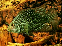 Texas Cichlid (Cichlasoma cyanguttatum) Known as one of the toughest fish, not sensitive to water conditions, usually eats any food offered, can grow up to 12 in. One of the more popular cichlids due to it's beauty and aggressiveness.