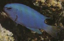 Blue Devil(pomacentius coelestis)