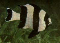 Four Stripe Damsel(Dascyllus melanurus)