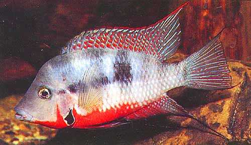 Firemouth