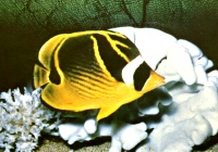 Racoon Butterfly(Chaetodon lunula)